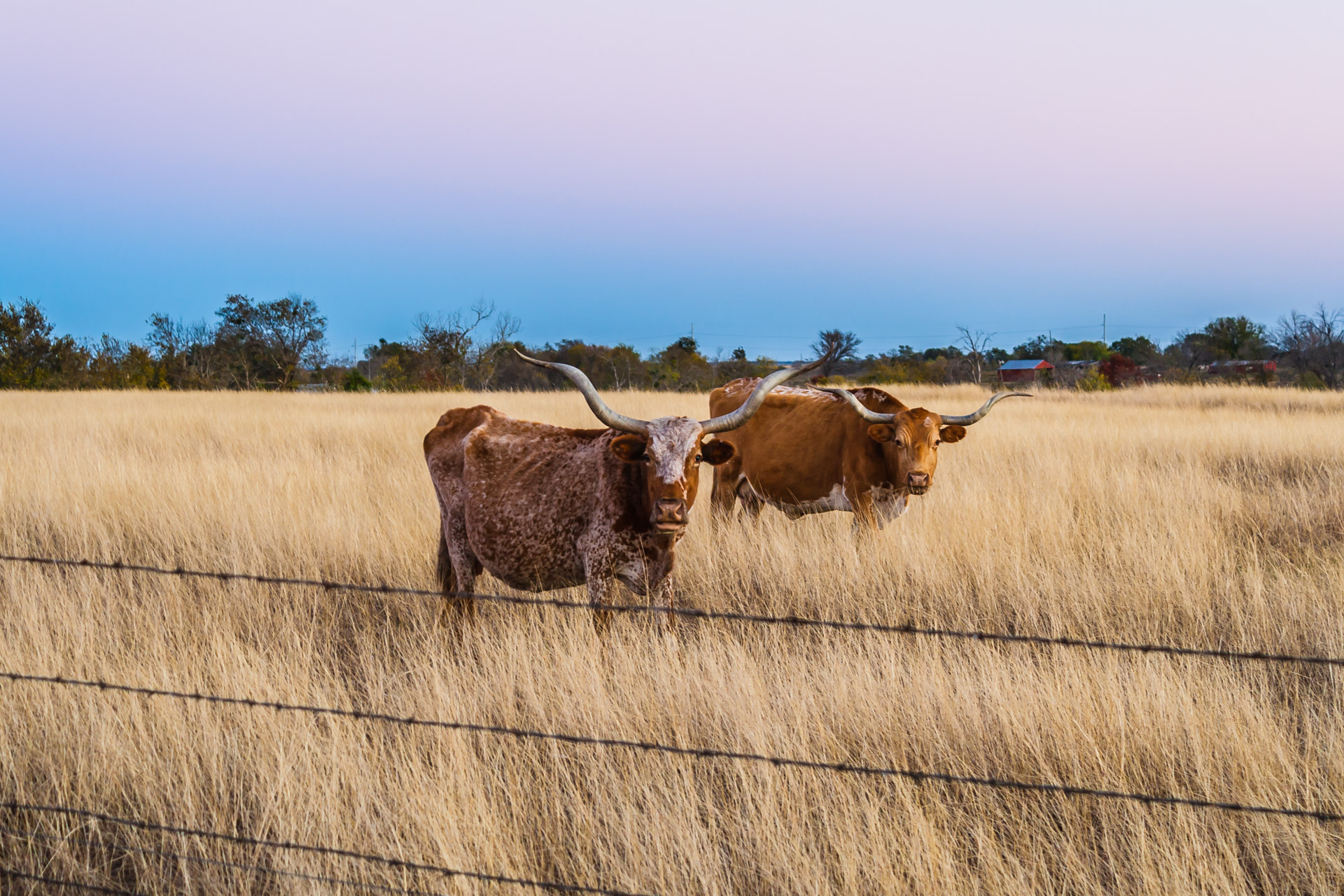 A Couple of Longhorns (mouth agape)